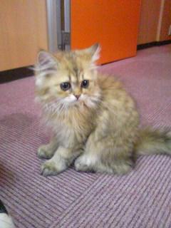 ペルシャ チンチラゴールデン 子猫