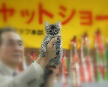 マンチカン 子猫
