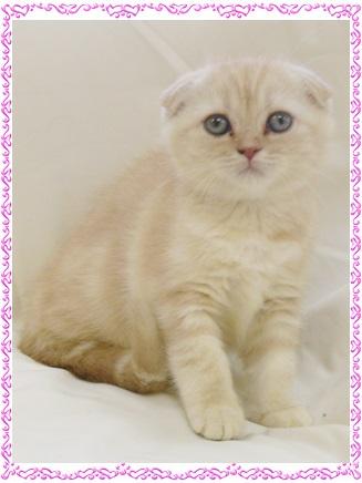 スコティッシュ 子猫