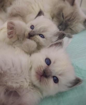 バーマン 子猫