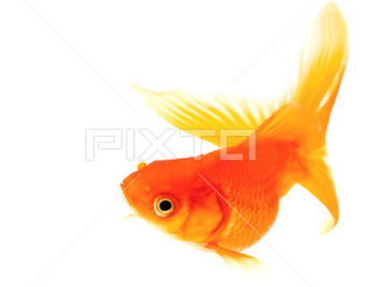 琉金 金魚