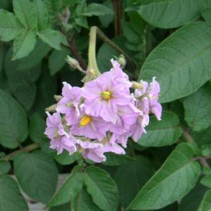 アンデスレッドの花