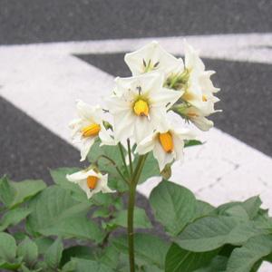 ノーザンルビーの花