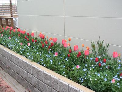 柏の葉キャンパス駅東口花壇のチューリップ