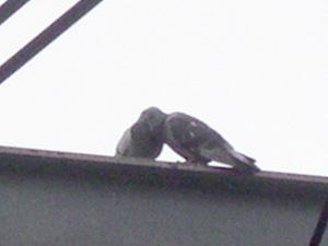 イチャつく鳩