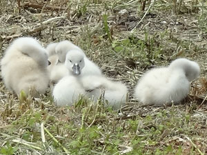 手賀沼の白鳥のヒナ