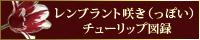 レンプラント咲き(っぽい)チューリップ図録
