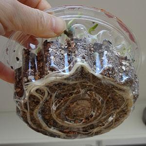 スナックエンドウの芽