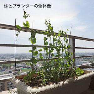 スナックエンドウの花