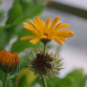 キンセンカの貫生花