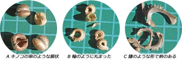 フユシラズの果実の形