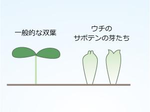 サボテンの芽