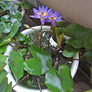 屋外スイレン鉢の熱帯スイレン