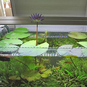室内水槽の熱帯スイレン