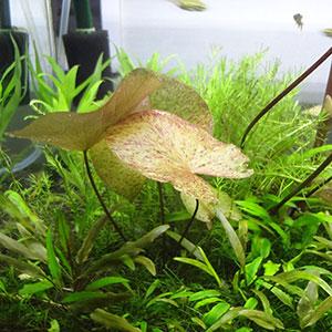 室内水槽の熱帯スイレン水中葉