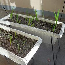 球根を植えたプランター