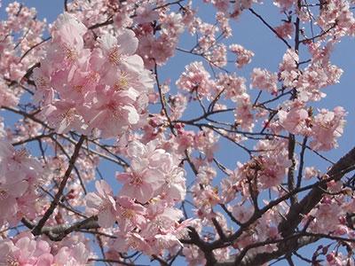 大堀川遊歩道の河津桜