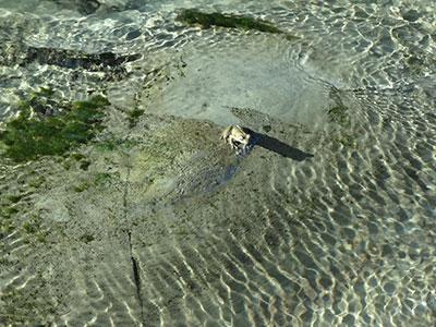 養老渓谷遊歩道のカジカガエル