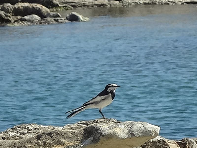 仁右衛門島のハクセキレイ