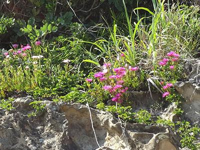 仁右衛門島の花