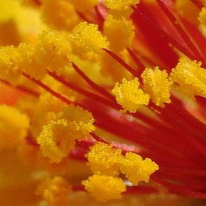 マツバボタンの花粉