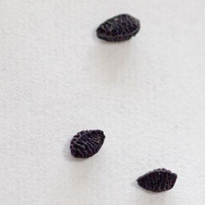 ニゲラ種子