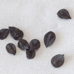 ナデシコ科種子