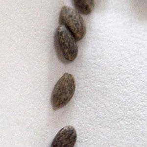 サルビア・コクシネア種子