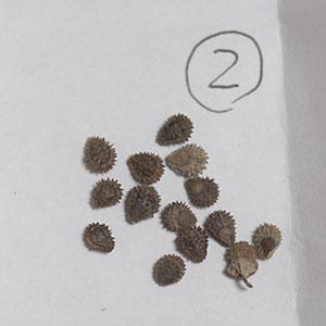 シノグロッサム種子