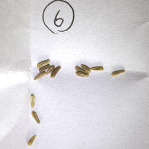 ノースポール種子
