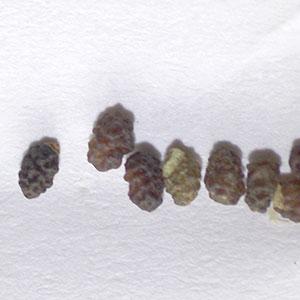 ネモフィラ種子