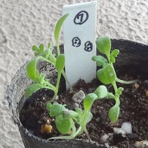 ネモフィラ芽