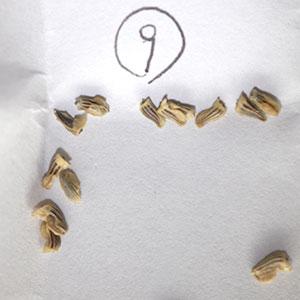 ムルチコーレ種子