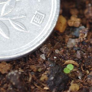 ベゴニアの芽 発芽