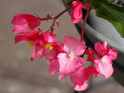 ベゴニアの雄花と雌花
