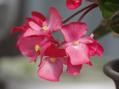 ベゴニアの雄花