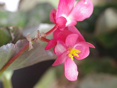 ベゴニアの雌花