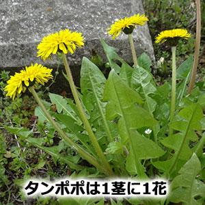 タンポポは1茎に1花