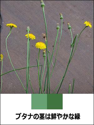 ブタナの茎は鮮やかな緑