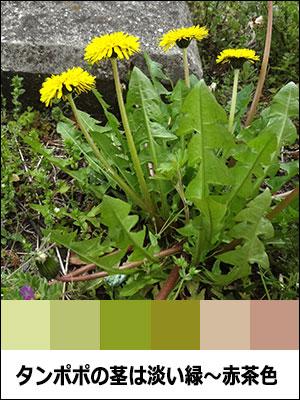 タンポポの茎は淡い緑〜赤茶色