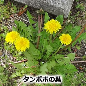 タンポポの葉