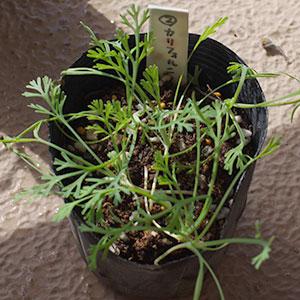 カリフォルニアポピーの苗