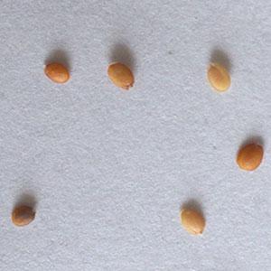 アリッサムの種子