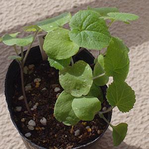 ムラサキハナナの芽