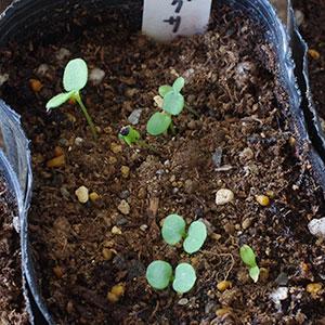 ワスレナグサの芽