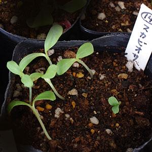 スカビオサの芽