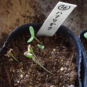 ハナワギクの芽