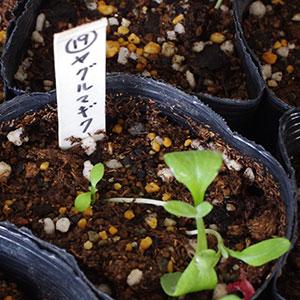ヤグルマギクの芽