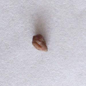 ムラサキハナナの種子