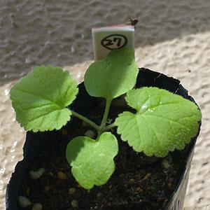 ムラサキハナナの苗